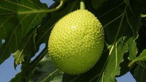 Breadfruit growing on tree
